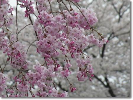 満開の桜_c0147448_17432493.jpg