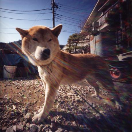 青梅のまん丸顔が凛々しくてかわいい犬 東京都青梅市 Pinhole Photography_f0117059_16544717.jpg