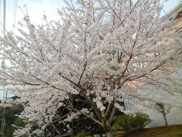 '13,3,30(土)今日も春の花、満載ですYO!_f0060461_13334923.jpg