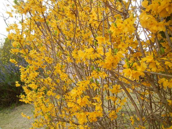 '13,3,30(土)今日も春の花、満載ですYO!_f0060461_1338048.jpg