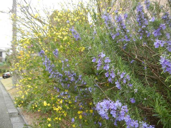 '13,3,30(土)今日も春の花、満載ですYO!_f0060461_13402722.jpg
