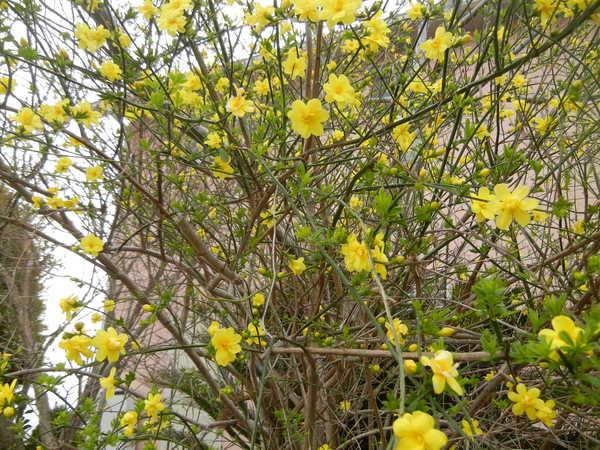 '13,3,30(土)今日も春の花、満載ですYO!_f0060461_13424298.jpg