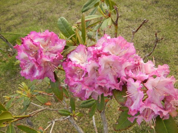 '13,3,30(土)今日も春の花、満載ですYO!_f0060461_13472165.jpg