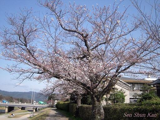 賀茂川の桜 2013年3月30日_a0164068_21583046.jpg