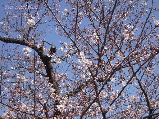 賀茂川の桜 2013年3月30日_a0164068_2159075.jpg