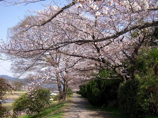 賀茂川の桜 2013年3月30日_a0164068_21593550.jpg