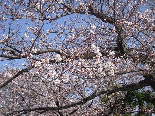 賀茂川の桜 2013年3月30日_a0164068_21595975.jpg