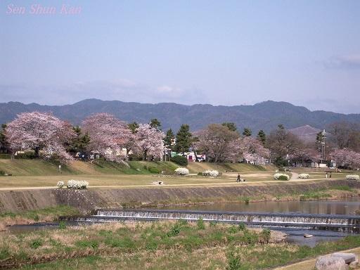 賀茂川の桜 2013年3月30日_a0164068_2202847.jpg