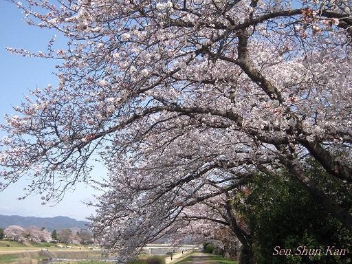 賀茂川の桜 2013年3月30日_a0164068_2205562.jpg