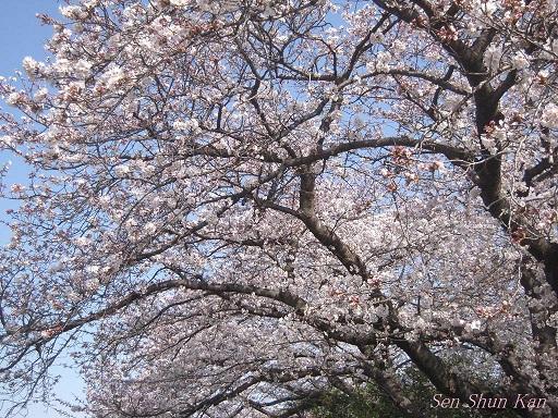 賀茂川の桜 2013年3月30日_a0164068_2211656.jpg
