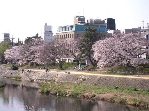 賀茂川の桜 2013年3月30日_a0164068_2215631.jpg
