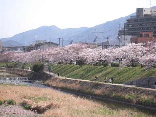 賀茂川の桜 2013年3月30日_a0164068_2221790.jpg