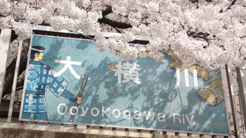 ソメイヨシノ満開_c0249569_1435037.jpg