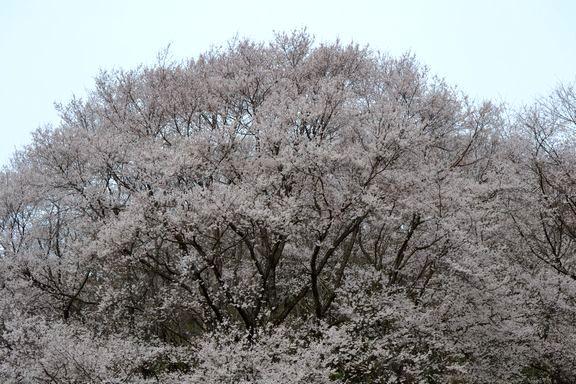路傍の花、樹々の鳥(29) ~ご近所のエドヒガン~_b0102572_10421587.jpg