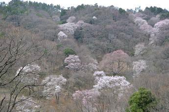 路傍の花、樹々の鳥(29) ~ご近所のエドヒガン~_b0102572_10422820.jpg