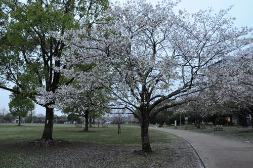 文化公園 桜 宮崎市 13年3月_a0043276_4322971.jpg