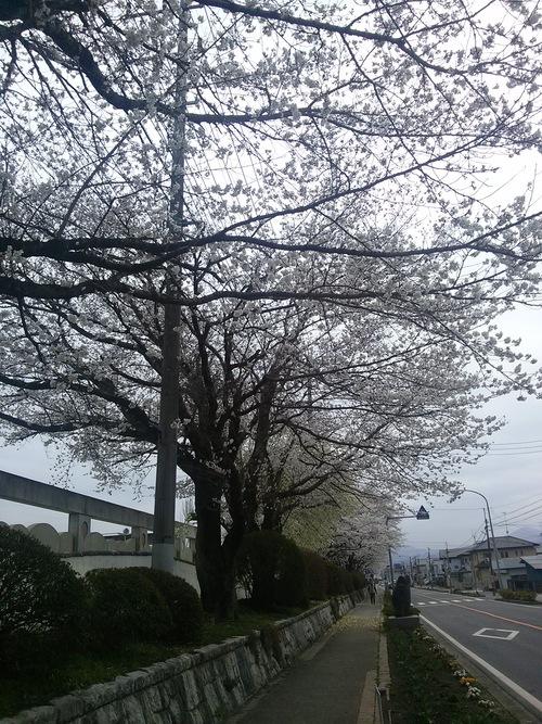 桜_f0229883_8435534.jpg