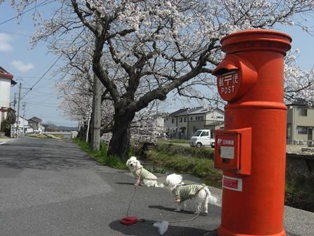桜満開_b0231886_2040116.jpg