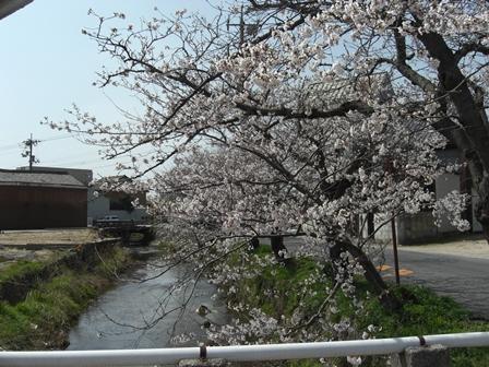 桜満開_b0231886_20403984.jpg