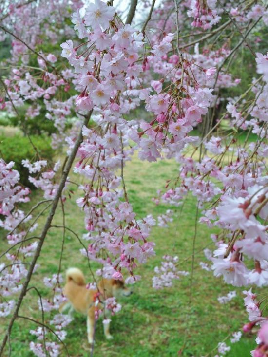 桜はらはら_a0126590_17123467.jpg
