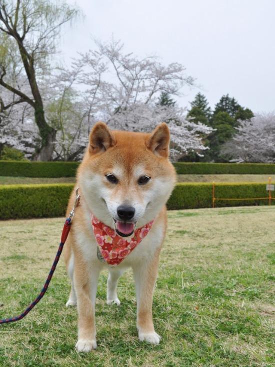 桜はらはら_a0126590_17243280.jpg