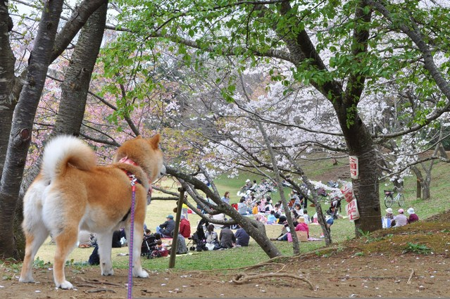 桜はらはら_a0126590_1782956.jpg