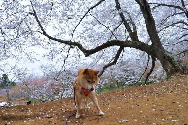桜はらはら_a0126590_1792921.jpg