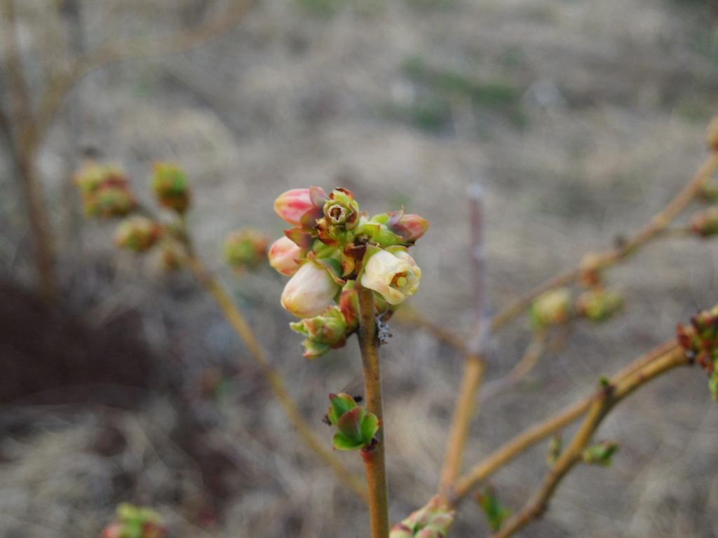 「ブルーベリー園 Mar-2013」_a0120513_19281149.jpg