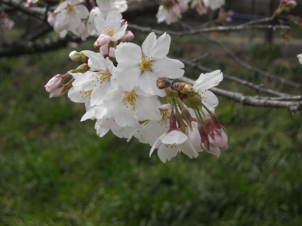 川桜、桜風_c0141013_2005541.jpg