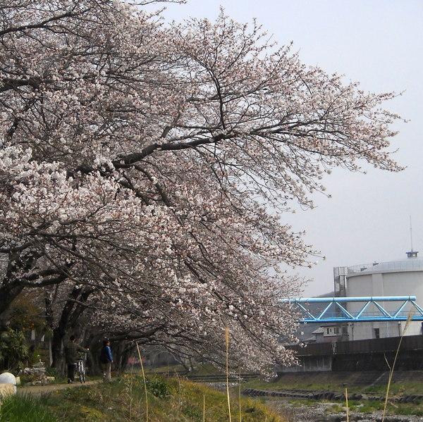 川桜、桜風_c0141013_2011112.jpg