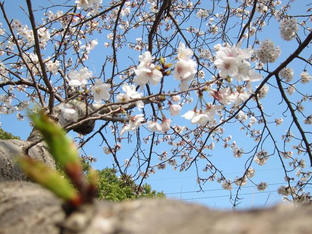 桜_b0207631_1315161.jpg
