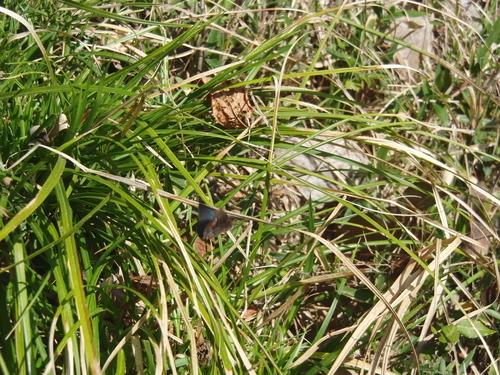 コツバメ 北山湿地3月30日 飛翔編_d0254540_8322713.jpg