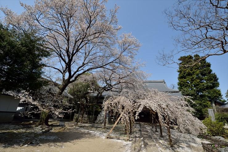 長誓寺のしだれ桜_e0170058_18365163.jpg
