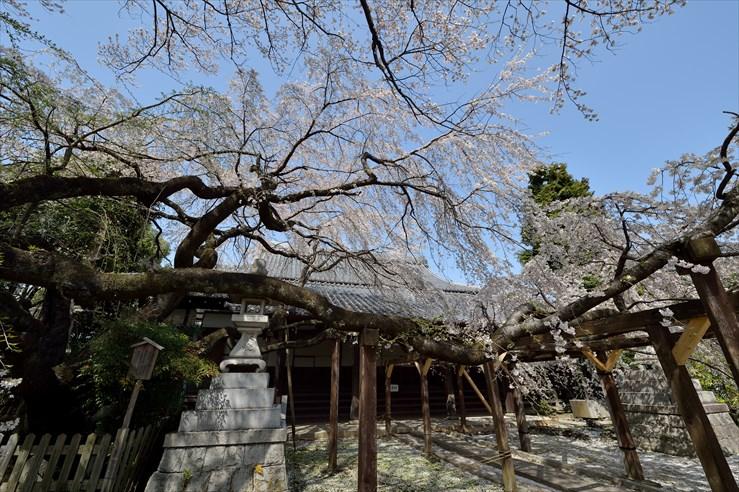 長誓寺のしだれ桜_e0170058_18365715.jpg