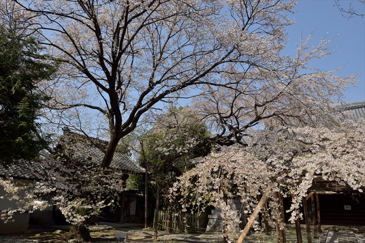 長誓寺のしだれ桜_e0170058_18371150.jpg