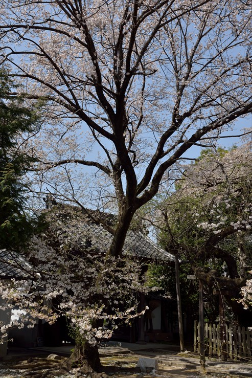 長誓寺のしだれ桜_e0170058_18371862.jpg