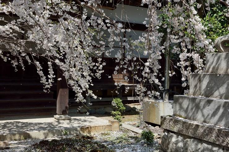 長誓寺のしだれ桜_e0170058_18372430.jpg