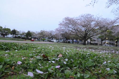 文化公園 桜 宮崎市 13年3月 0002_a0043276_3292357.jpg