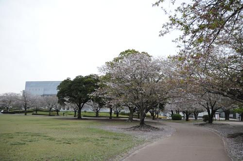 文化公園 桜 宮崎市 13年3月 0002_a0043276_329439.jpg