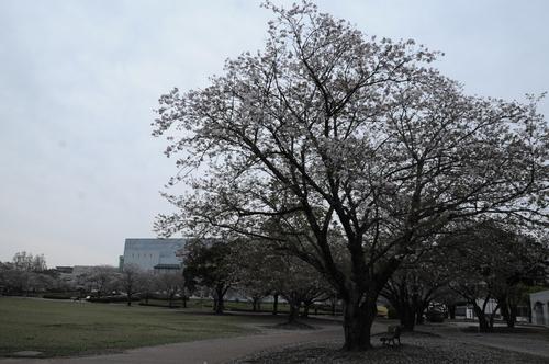 文化公園 桜 宮崎市 13年3月 0002_a0043276_3295338.jpg