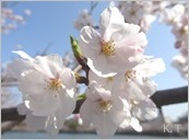 春満開!大阪市内 大川(旧淀川)沿いの4800本のサクラ