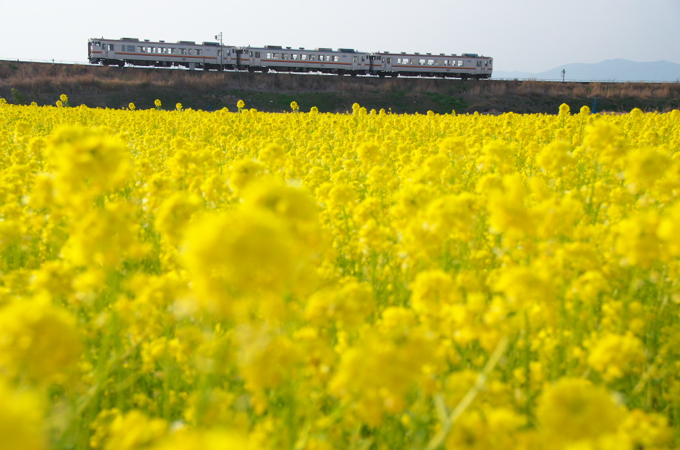 菜の花と電車_f0266284_17315696.jpg