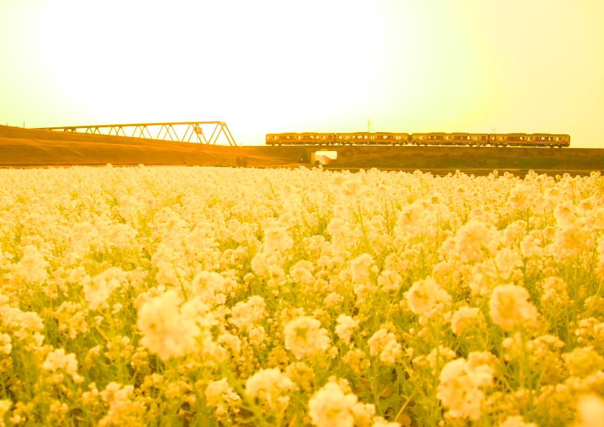 菜の花と電車_f0266284_17383429.jpg