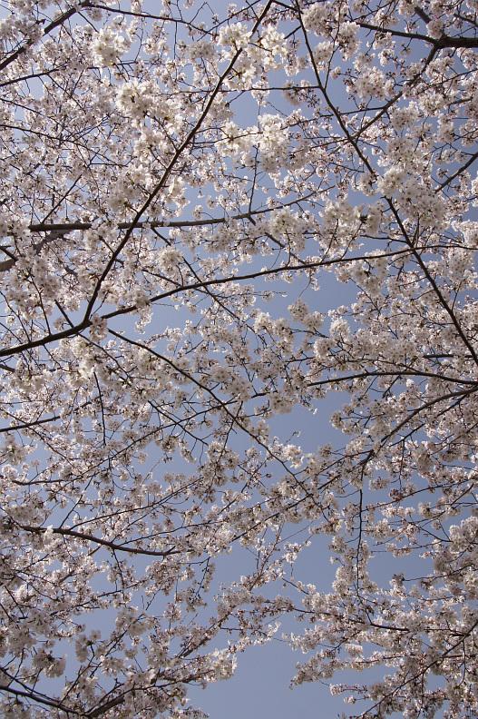 王子動物園の桜_f0189086_21281522.jpg