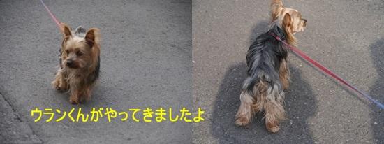 毎日の散歩は、お友達ワンちゃんたちと_b0175688_22474647.jpg