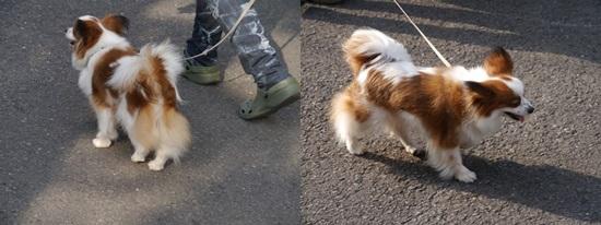 毎日の散歩は、お友達ワンちゃんたちと_b0175688_22511719.jpg