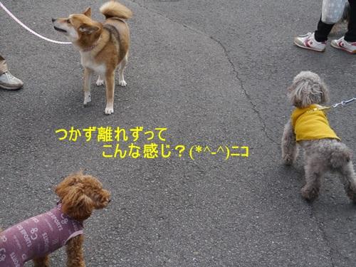 毎日の散歩は、お友達ワンちゃんたちと_b0175688_2258267.jpg