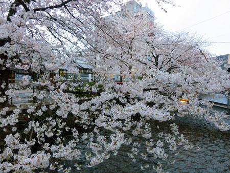 桜は満開近し〜_c0108595_3514544.jpg