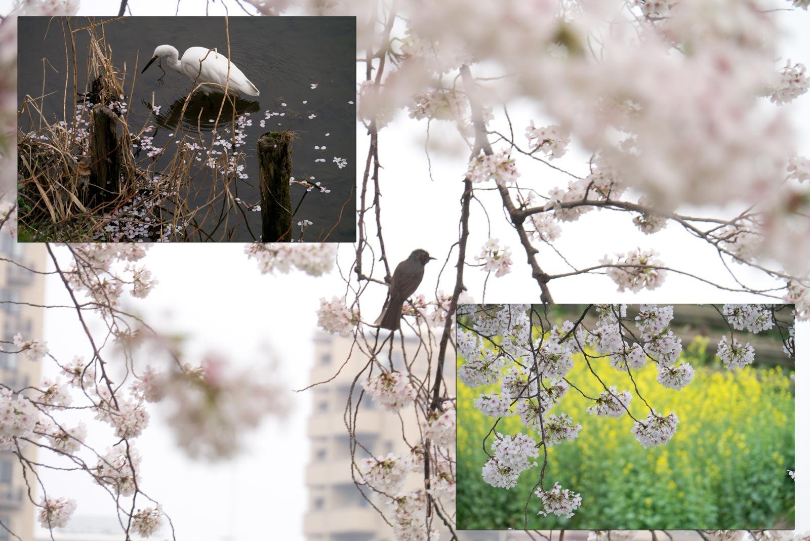桜が散り始めました。_a0271402_1926728.jpg