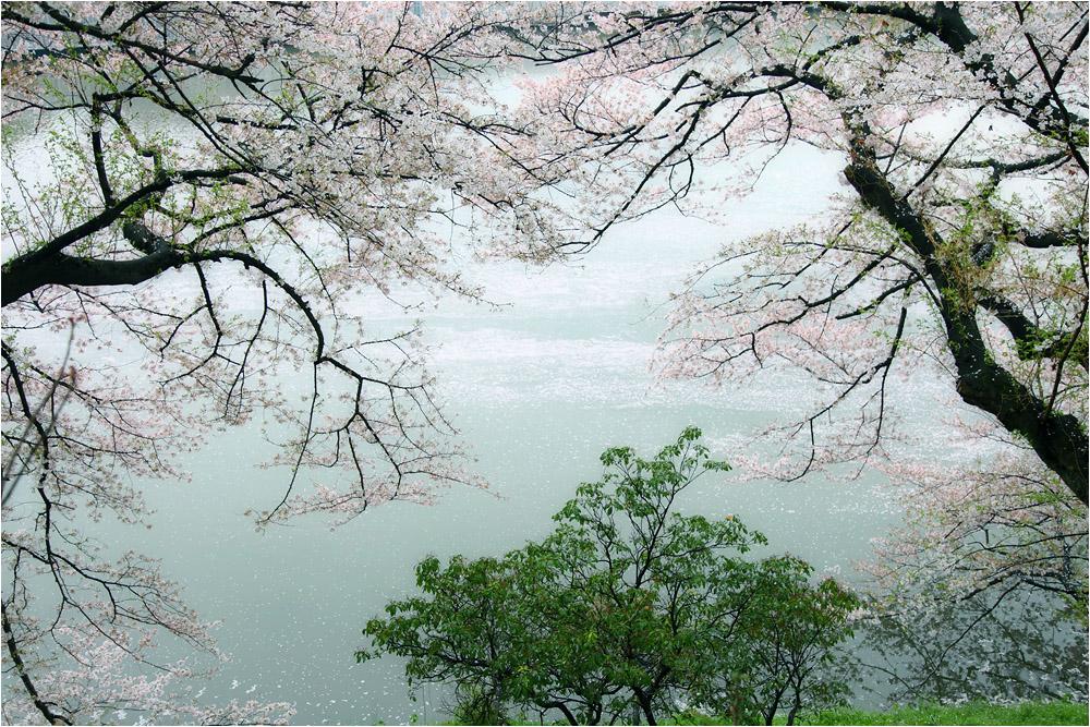 おぼろ桜_e0031502_13322298.jpg